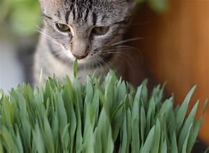 Graine Herbe A Chat : herbe chat ou herbe aux chats ~ Melissatoandfro.com Idées de Décoration
