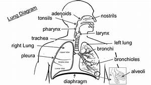 Larynx Pharynx Diagram