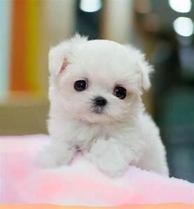 Cute Miniature Poodle Puppy - Doglers