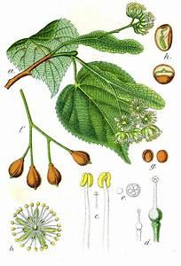 Linde Baum Steckbrief : tilia wikip dia ~ Orissabook.com Haus und Dekorationen