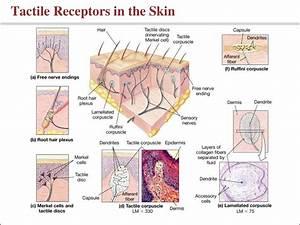 Somatic Sensory Receptors - Image Mag