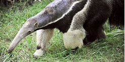 Apparently, Giant Anteaters Can Kill People | HuffPost