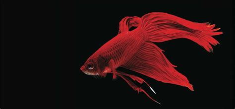 agromedia tren ikan cupang hias naik daun peluang