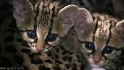 Ocelot Gifs Kitten Animal Animals Babies Ocelots