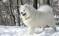 White Adult Samoyed Dog