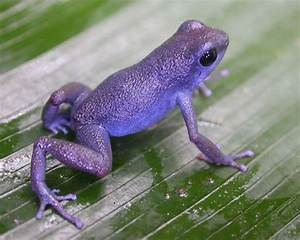 Purple+Poison+Dart+Frog | ... think of maybe pumilio ...