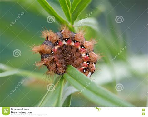 caterpillar  red hairs  red  white spots stock