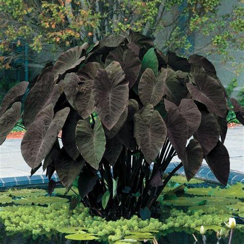 black elephant ear plants black magic elephant ear plant the vivarium pinterest