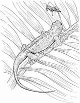 Lizard Coloring Pages Animals Grasshopper Bug sketch template