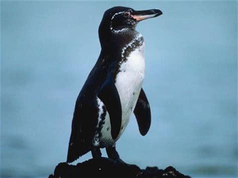 galapagos penguin endangered animals list  endangered
