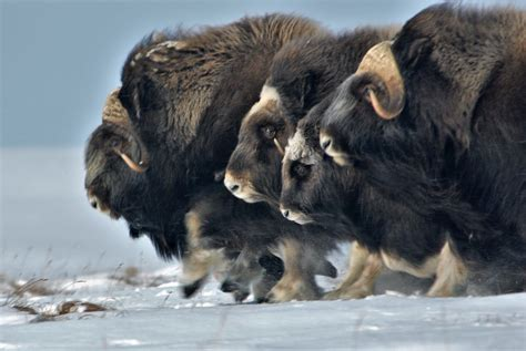 In the Alaska Arctic more rain may mean fewer musk oxen