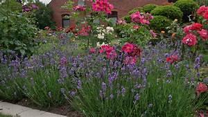 Rosen Und Lavendel : rosen und lavendel als partner rosenparadies loccum ~ Yasmunasinghe.com Haus und Dekorationen