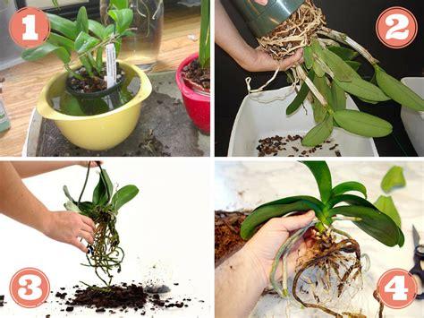 rempotage dorchidee entretien des fleurs plantes