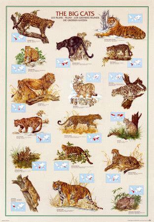 types of big cats print cats big cats