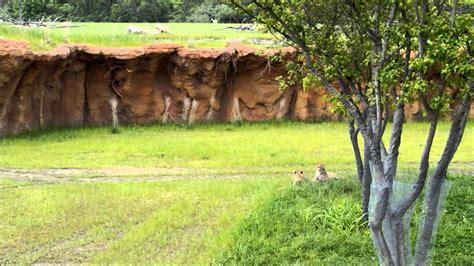 zoo columbus africa heart cheetahs