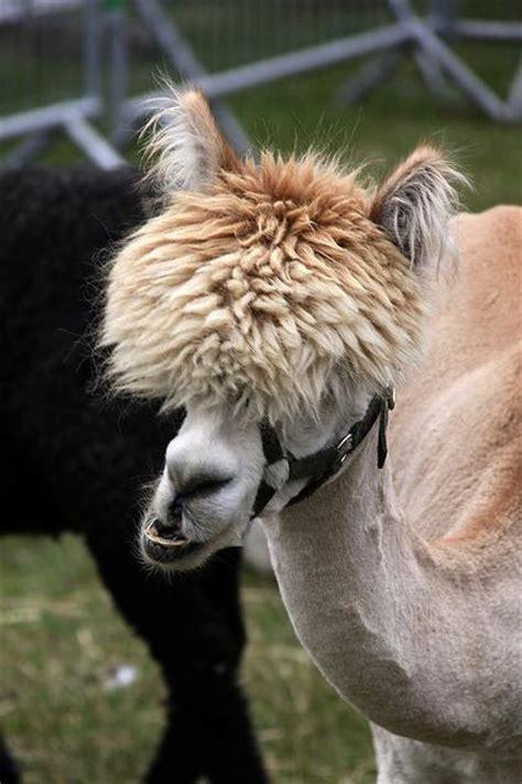 alpacas    amazing hair  twistedsifter
