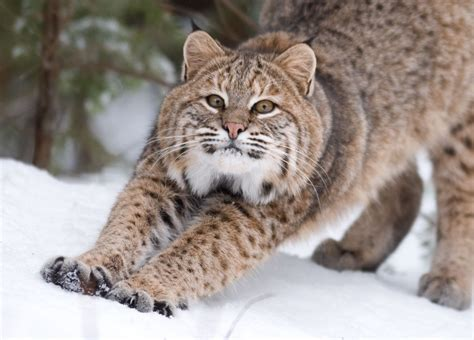 Are New Hampshire's Bobcats Wellconnected? New