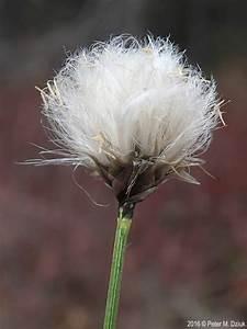 Eriophorum Vaginatum  Tussock Cottongrass   Minnesota