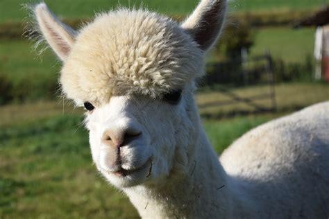 interesting  fun facts  alpacas tons  facts