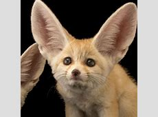 Fennec Fox National Geographic