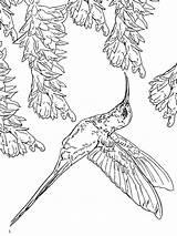 Coloring Hummingbird Hummingbirds Birds Ausmalbilder Kolibri Bird Humming Colouring Printable Adult Flowers Ausdrucken Malvorlagen Kostenlos Zum sketch template