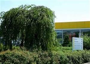 Kleiner Baum Garten : betula pendula youngii die trauerbirke ein kleiner baum ~ Lizthompson.info Haus und Dekorationen