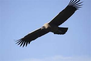 Science Doing  Andean Condor  Incan Myth And Pollution