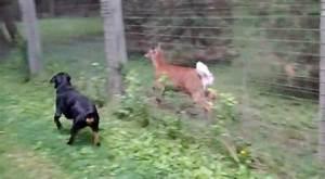Un Rottweiler Fait La Course Avec Un Cerf Vidos MDR