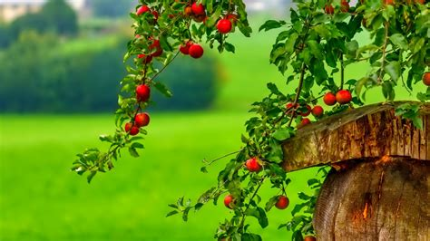 The Red Berry Tree Wallpaper And Background Image