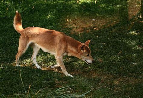 Canis Hallstromi Wikispecies