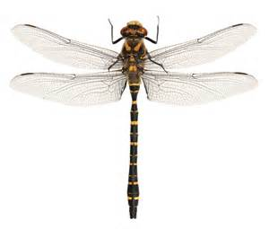 Dragonfly L by What S On The Van Golden Ringed Dragonfly Darkened Not