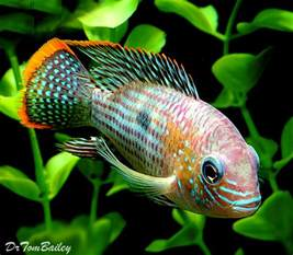 green terror for sale aquariumfish net