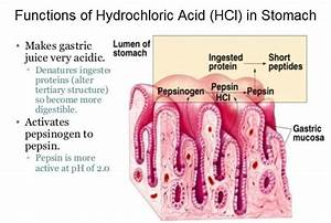 What Is The Function Of Hydrochloric Acid  Hcl  In The