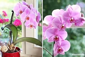 Orchideen Umtopfen Wurzeln Schneiden : orchideen richtig pflegen von a z d ngen umtopfen schneiden plantopedia ~ A.2002-acura-tl-radio.info Haus und Dekorationen