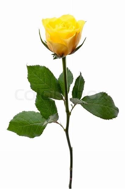 Yellow Rose Single Rosa Steg Einzelnes Amarillo