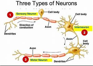 Types of Neurons home