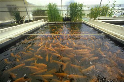 lebanese aquaculture   living  fish farming
