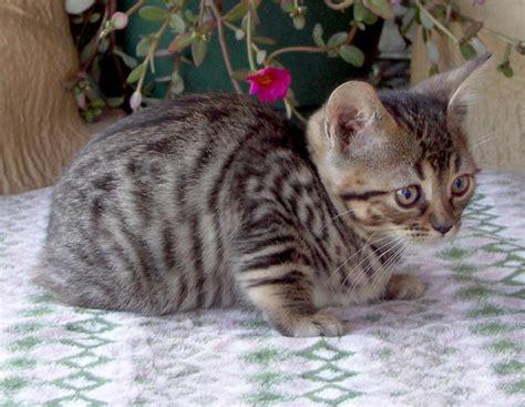 brown tabby cat bengal manx kittens cats breeder manx bengals cat banx ben