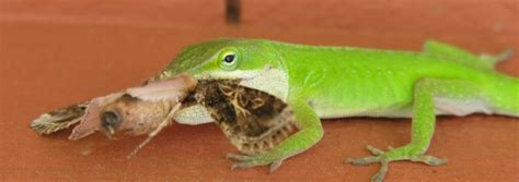 What Do Lizards Eat?