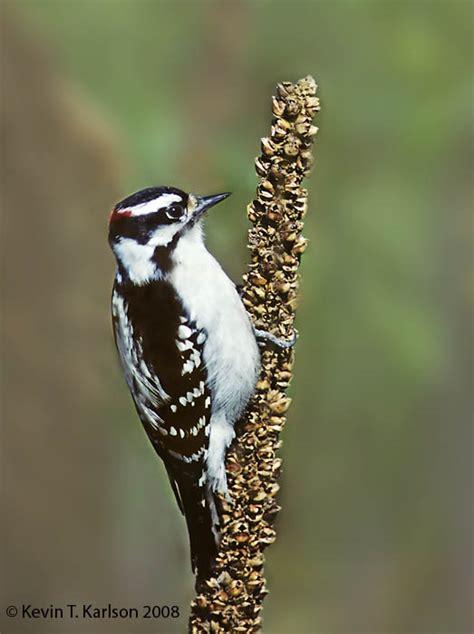 downy woodpecker male ny sep jpg
