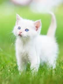 cat breeds list kitten grass white hd cat wallpaper