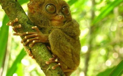 monyet terkecil  dunia   sulawesi utara