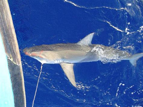 permit shark fishing florida chumming requires bans require shore beginning based july