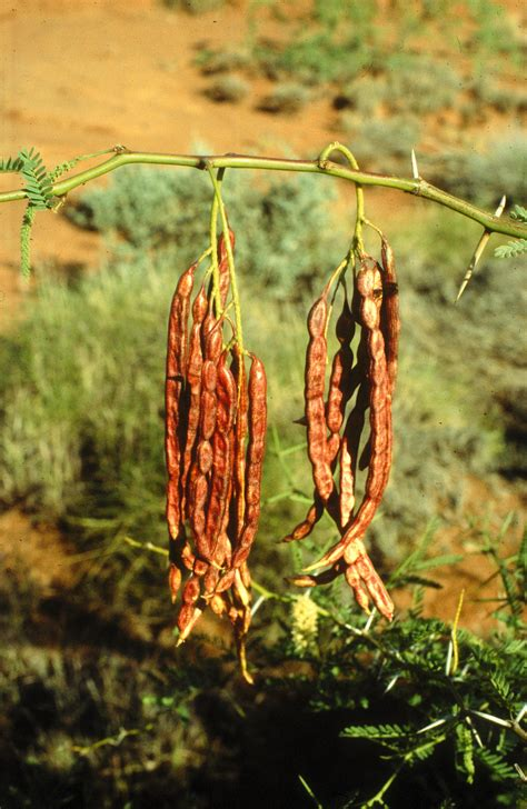 mesquite     agriculture  food
