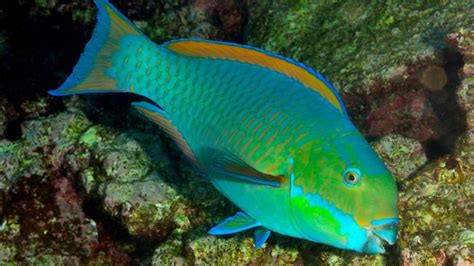 rainbow parrot fish  wallpaper  baltana