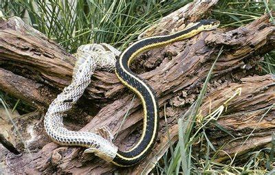 How Often To Snakes Shed by Ericasodos S Just Another Weblog
