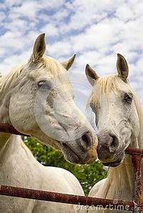 Two Beautiful Arabian Horses Nose To Nose Stock Photo ...
