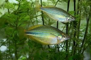 Süßwasserfische Fürs Aquarium : fischarten liste der s wasserfische ~ Lizthompson.info Haus und Dekorationen