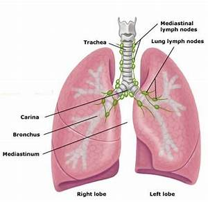 Free Diagrams Of The Lungs