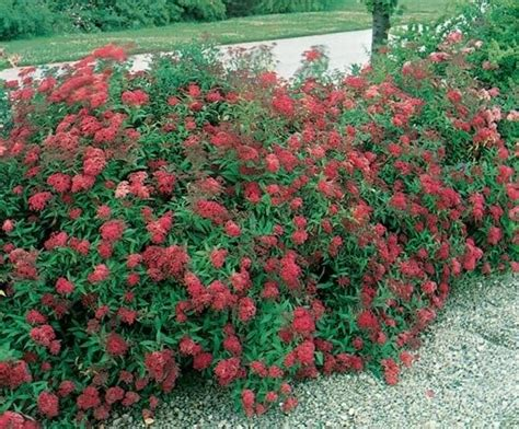 Spiraea japonica 'Dart's Red' Japānas spireja - Spirejas ...
